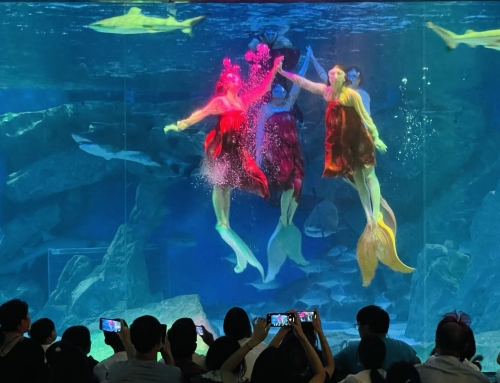 海豚、白鲸吃粽子过端午 成都海昌极地海洋公园民俗氛围浓