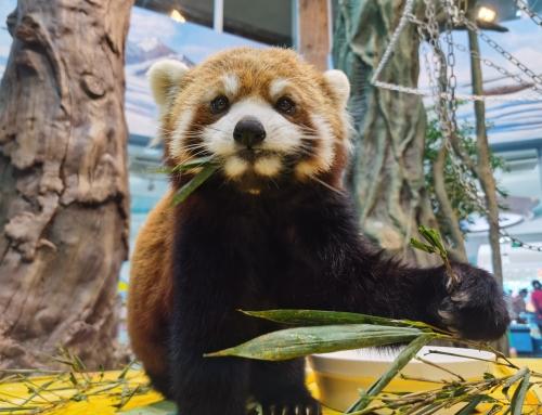 """萌度再升级!世界最萌动物""""小熊猫""""安家成都海昌极地海洋公园"""
