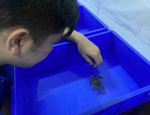 国内首例人工孵化蠵龟宝宝在青岛海昌极地海洋公园诞生